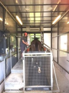 An equine altitude training system being used by a horse and a handler