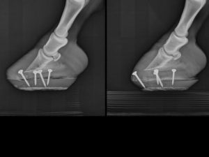 An x-ray of a horse's hooves with screws in them